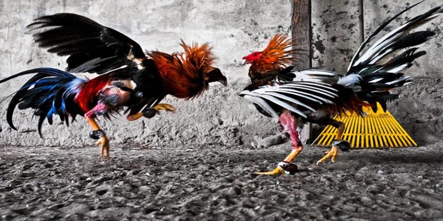 Cara Mainkan Bdd Dan Ftd Di Judi Online Sabung Ayam